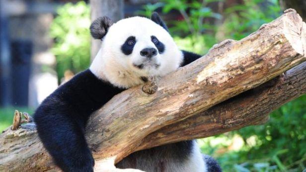 Panda-AFP